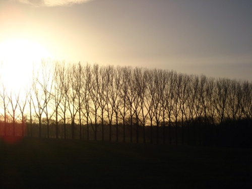 Poplars at sunset
