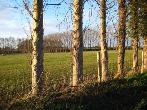 Windbreak poplars