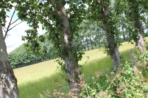 Poplar Windbreaks