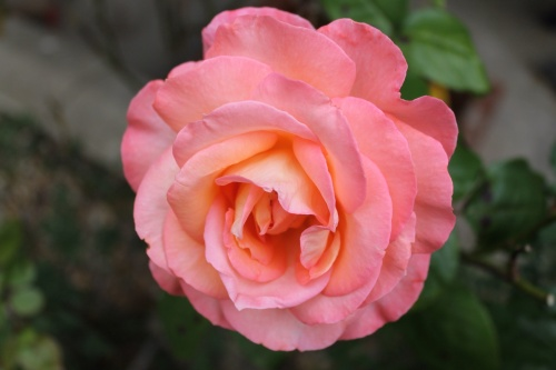 A pink rose. So wrong on two counts, but quite pretty.