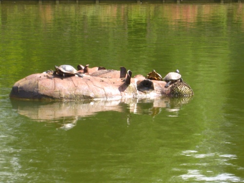 Terrapins On A Hippo. As You Do.