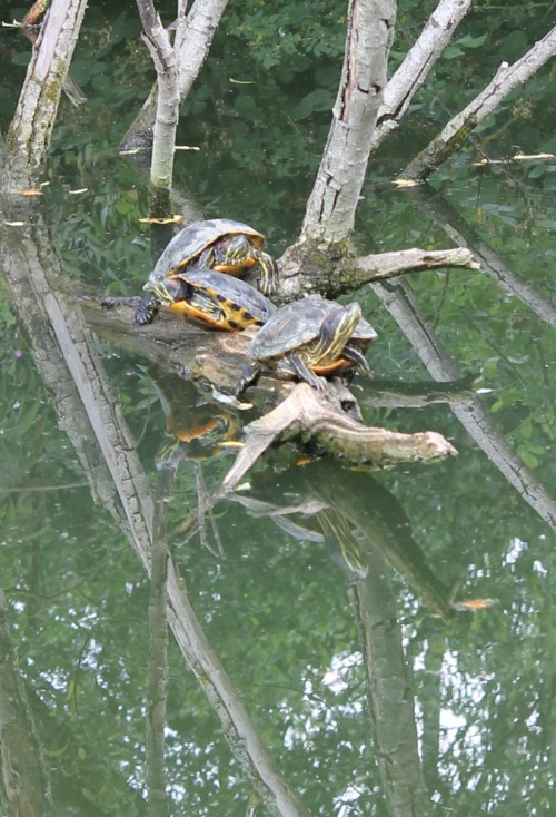 terrapins in the Thames