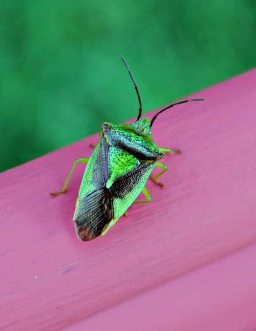 Shield Bug Knows He's Cool