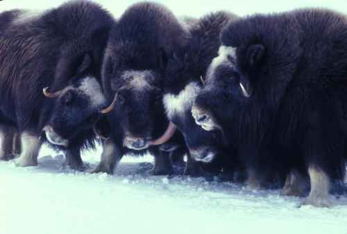 Don't Mess With The Musk Ox. (Image: Wikimedia Commons.)